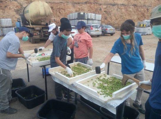 Voluntários esmagam as azeitonas para extrair o azeite