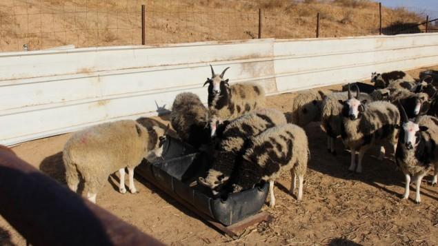 Resultado de imagem para ovelhas malhadas